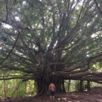 another giant banyan tree